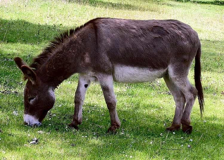 Nature Trivia Question: What is a female donkey called?