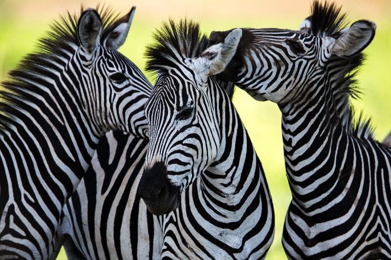 Nature Trivia Question: What color are zebras?