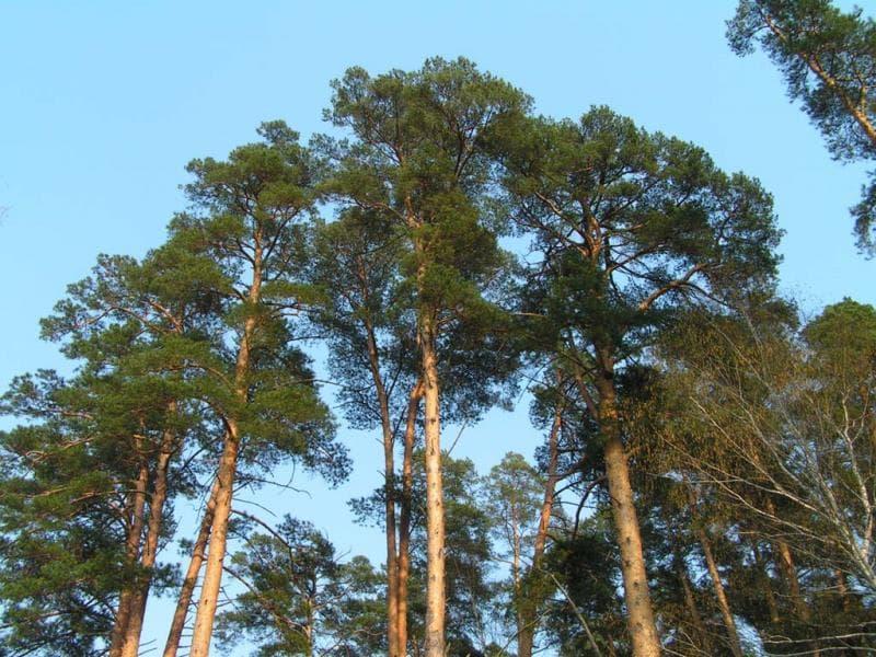 природа Запитання-цікавинка: Чи можуть хвойні дерева скидати на зиму хвою, подібно листяним?