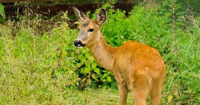 природа Запитання-цікавинка: Яка тварина з парнокопитних найменше?