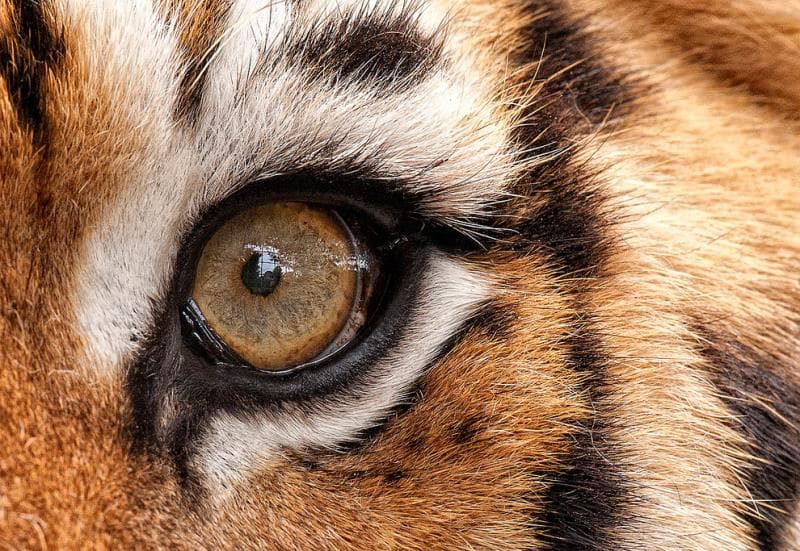 природа Запитання-цікавинка: Чи можуть у будь-небудь тварин очі обертатися незалежно один від одного?