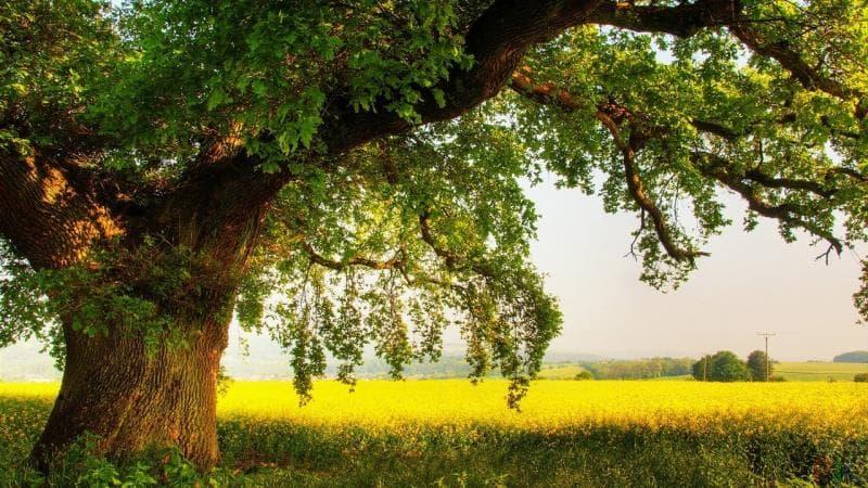 природа Запитання-цікавинка: Вік якого з перерахованих дерев можна визначити по річним кільцям на зрізі?