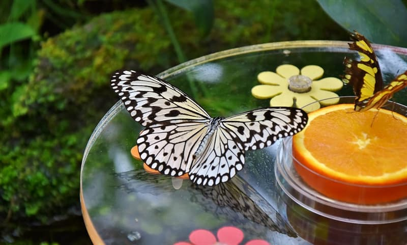 Nature Trivia Question: Can butterflies have transparent wings?