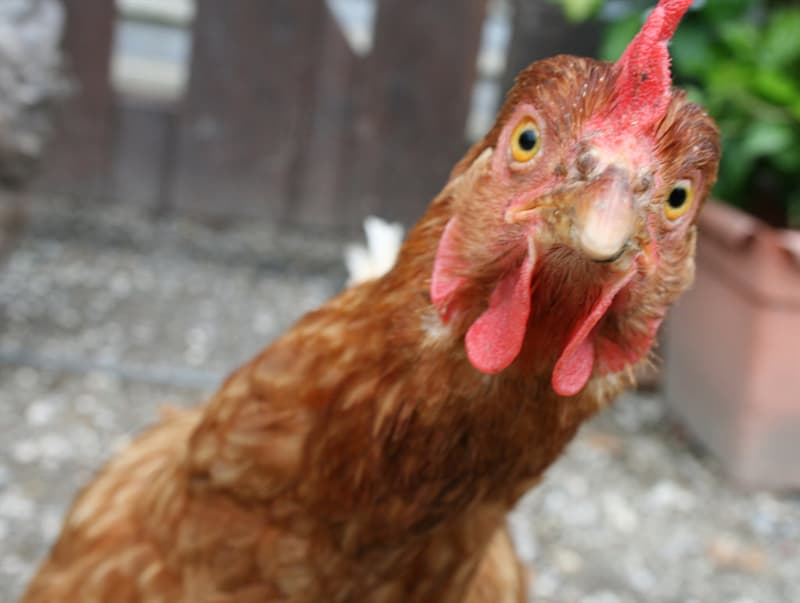Nature Trivia Question: Chickens float like ducks and instinctively know how to swim.