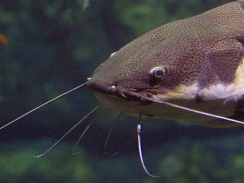 Nature Trivia Question: Do catfish have scales?