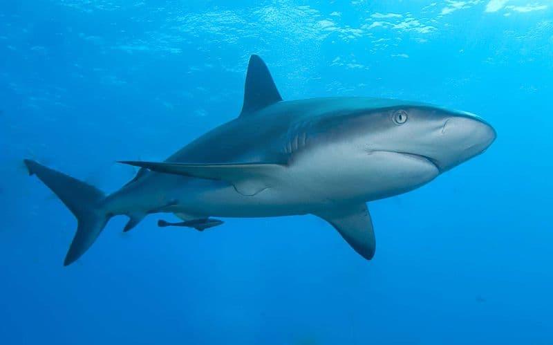 природа Запитання-цікавинка: Скільки кісток у акули?