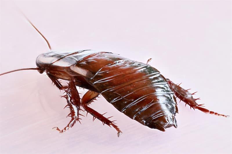 Natur Wissensfrage: Wie lange kann eine Kakerlake ohne Kopf leben?