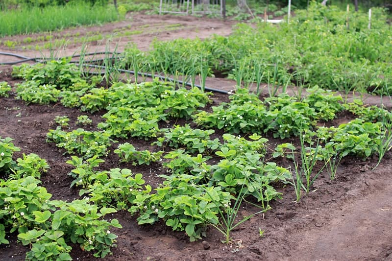 Nature Trivia Question: What adventitious plants can be found in a typical vegetable garden?