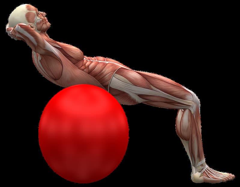 Wissenschaft Wissensfrage: Was ist der größte Muskel des menschlichen Körpers?