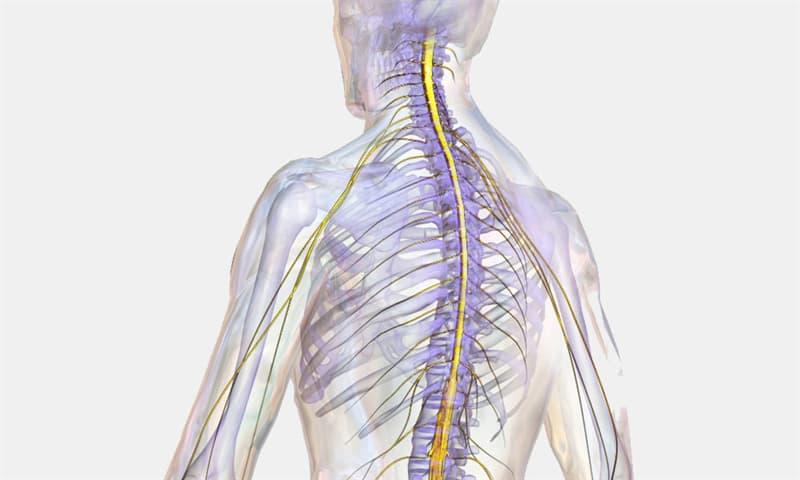 Наука Запитання-цікавинка: Що в людському організмі відповідає за збереження спинного мозку?