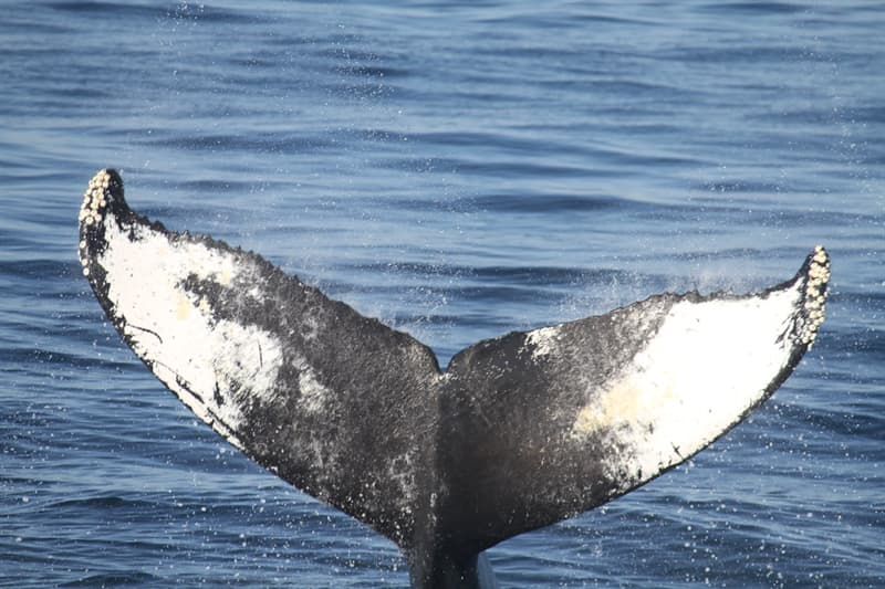 Culture Trivia Question: What type of whale was Moby Dick?