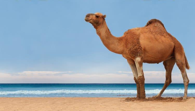 natura Pytanie-Ciekawostka: Jakie zwierzę potrafi przeżyć bez wody dłużej niż wielbłąd?