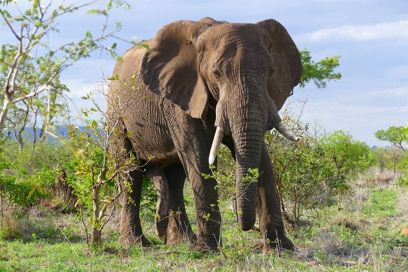 Nature Trivia Question: Both male and female African elephants have tusks