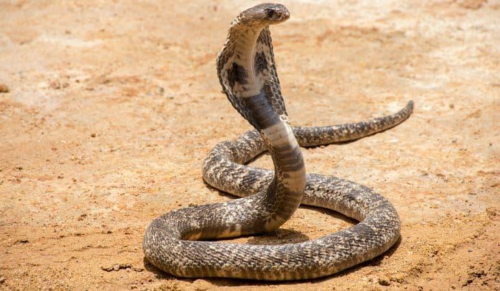 Nature Trivia Question: Can cobra venom kill an elephant?