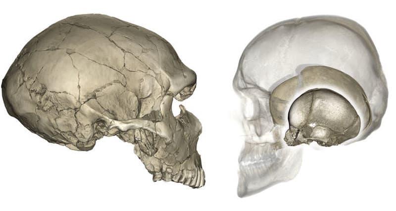 Наука Запитання-цікавинка: З якої кількості кісток складається череп людини (без урахування зубів)?