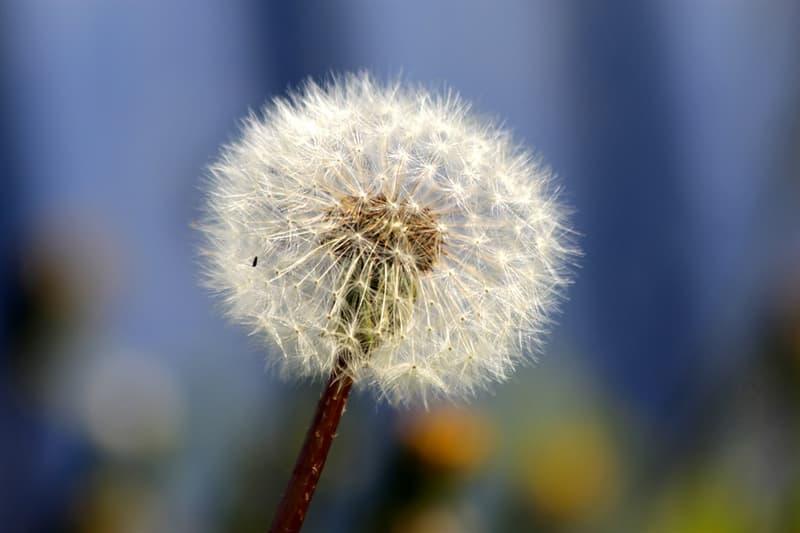 Наука Запитання-цікавинка: Як далеко можуть поширитися по повітрю насіння рослин?