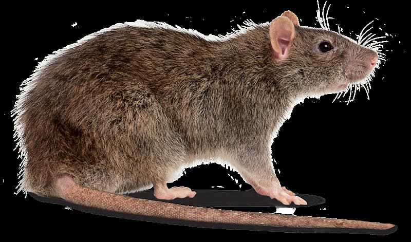 Nature Trivia Question: Rats only have one set of teeth for their whole lifetime