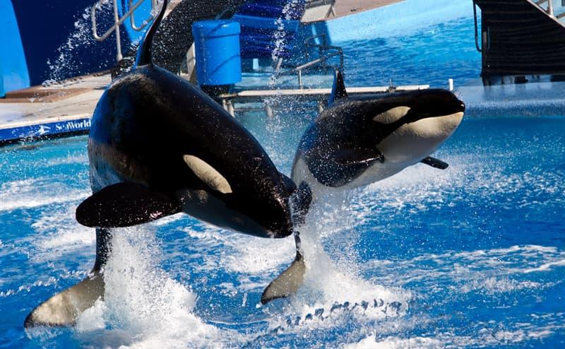 Natur Wissensfrage: Wer sind die natürlichen Feinde der Killerwale?