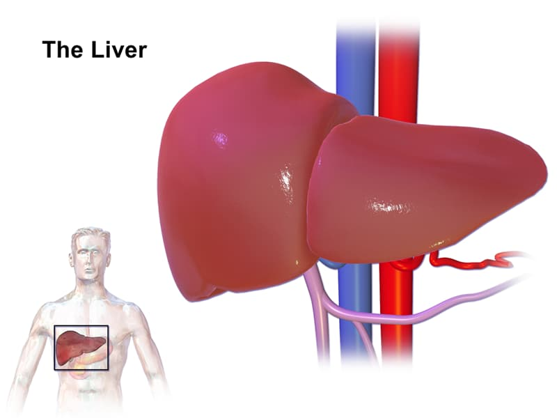Science Trivia Question: The liver is the body's largest gland and is a vital organ that supports nearly every other organ in the body to some degree.