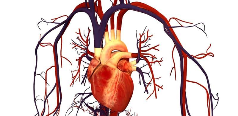 природа Запитання-цікавинка: У кого з холоднокровних тварин четирехкамерное серце?