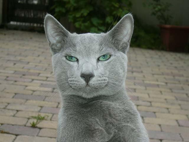Natur Wissensfrage: Welche Katzenrasse ist das?