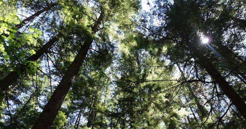 природа Запитання-цікавинка: Яке дерево вважається найвищим в світі?