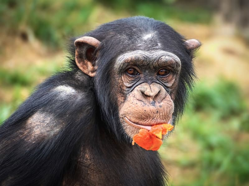 Society Trivia Question: What was the name of the chimpanzee who was known for mauling the face of his owners friend back in 2009?