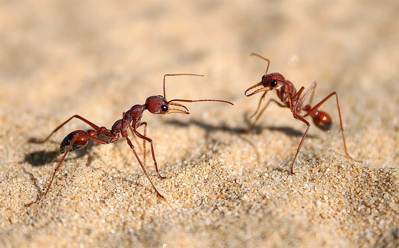 Nature Trivia Question: Which ant forms the largest colony?