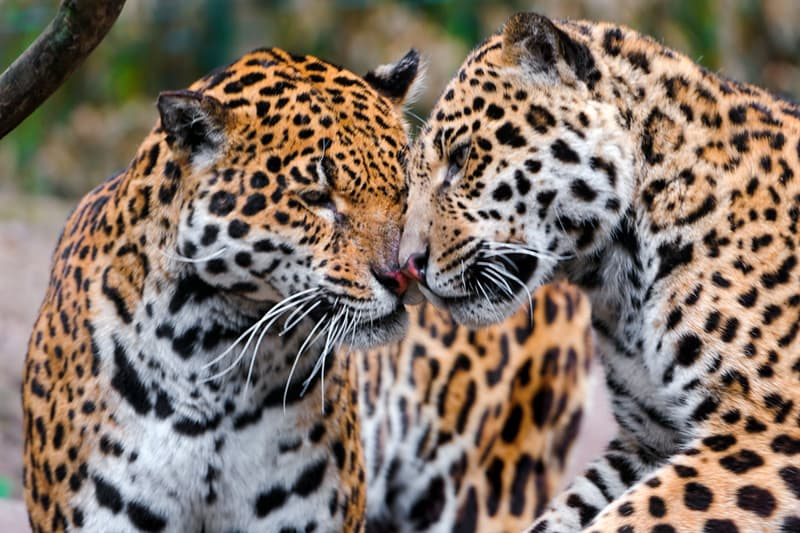 Nature Trivia Question: Which of the continents listed below typically has Jaguars?