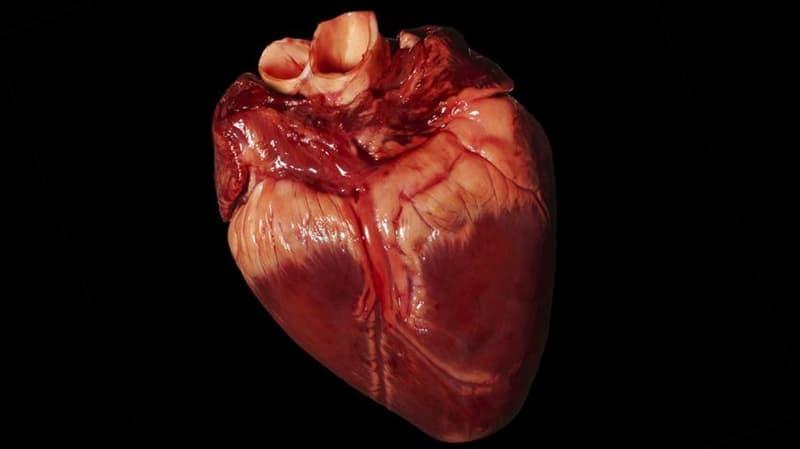 natura Pytanie-Ciekawostka: Które z następujących zwierząt ma więcej niż jedno serce?