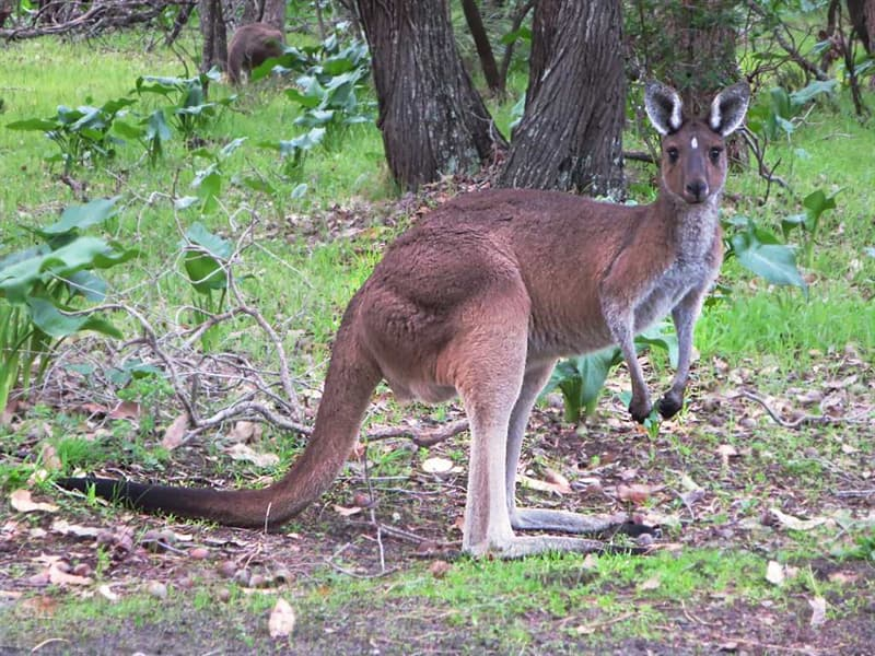 Geography Trivia Question: Which two animals are seen on the Australian Coat of Arms?