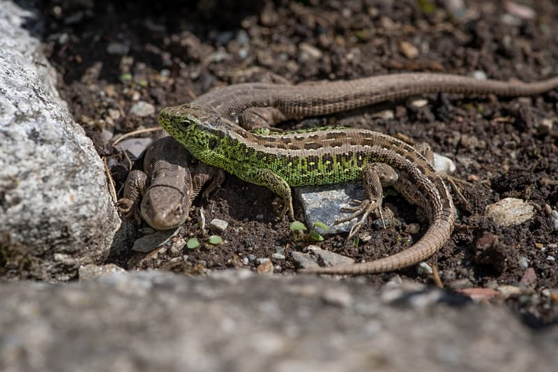 Nature Trivia Question: Do lizards use push-ups as a form of communication?