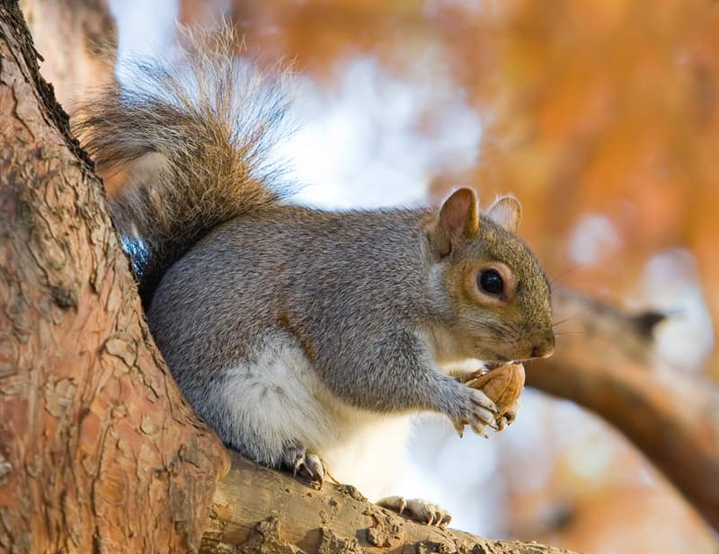 Nature Trivia Question: How long have Grey Squirrels lived in the British Isles?