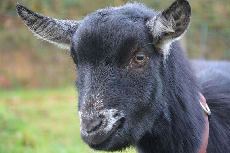 """Sport Trivia Question: """"The Curse of the Billy Goat"""" affects what sports team?"""