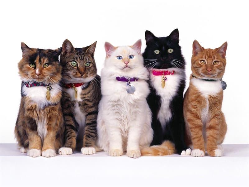 природа Запитання-цікавинка: В якому місті відбулася найперша виставка кішок?