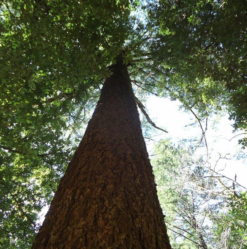 Natur Wissensfrage: Zu welcher Baumart gehört der höchste Baum der Welt?