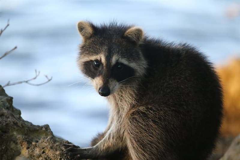 Nature Trivia Question: What is a group of raccoons called?