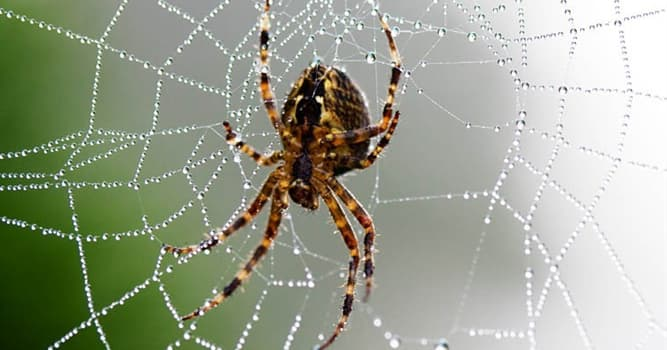 Nature Trivia Question: What is the most venomous spider in the world?
