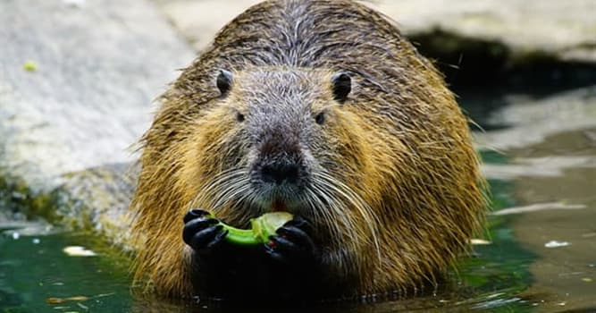 Nature Trivia Question: A beaver's teeth never stop growing.