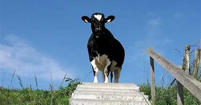Geography Trivia Question: Cows can easily walk down stairs.