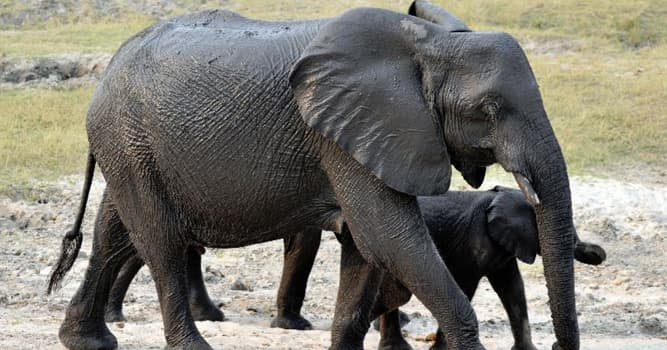 Geography Trivia Question: Elephants can do anything other mammals can with the exception of