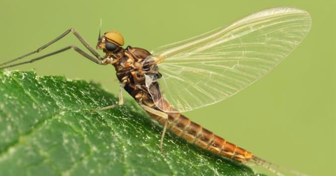 Nature Trivia Question: How long does a mayfly live?