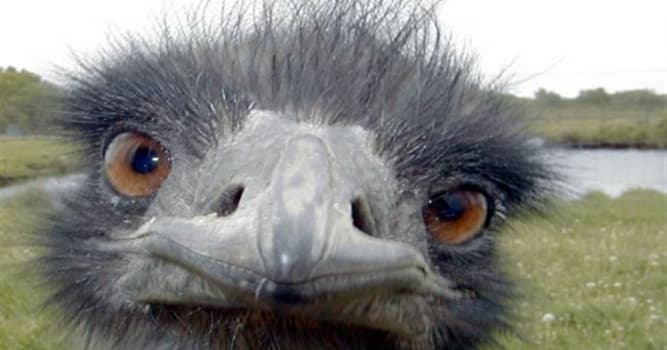 Наука Вопрос: Правда ли, что глаза страуса больше, чем его мозг?