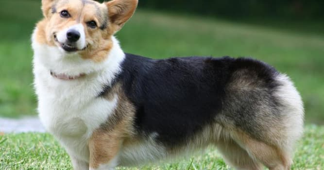 History Trivia Question: What member of royalty has owned more than 30 corgi dogs throughout their reign?