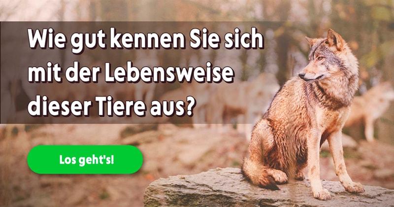 Natur Quiz-Test: Was wissen sie über Wölfe?