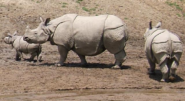 Naturaleza Pregunta Trivia: ¿Cuántas especies de rinocerontes existen en la actualidad?
