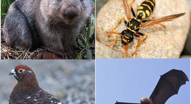 Naturaleza Pregunta Trivia: ¿Qué es un Wombat?
