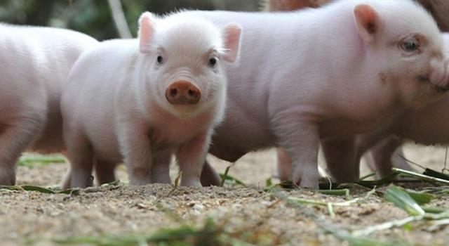 Naturaleza Pregunta Trivia: ¿Pueden los cerdos ver hacia arriba?
