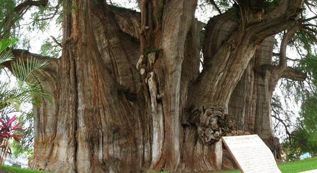 Naturaleza Pregunta Trivia: ¿Qué árbol tiene el diámetro de tronco más grande del mundo?