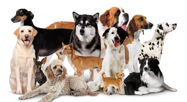Natur Wissensfrage: Welche Hunderasse ist auch als Dachshund bekannt?